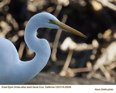 Great Egret A28246.jpg