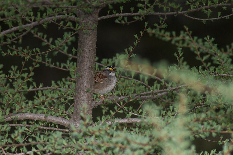 White-throated Sparrow Yellow-bellied Bog Peary Road Sax-Zim Bog MN IMG_3057.jpg