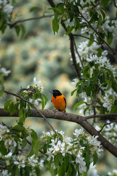 baltimore oriole sitting in a tree with white flower blossoms
