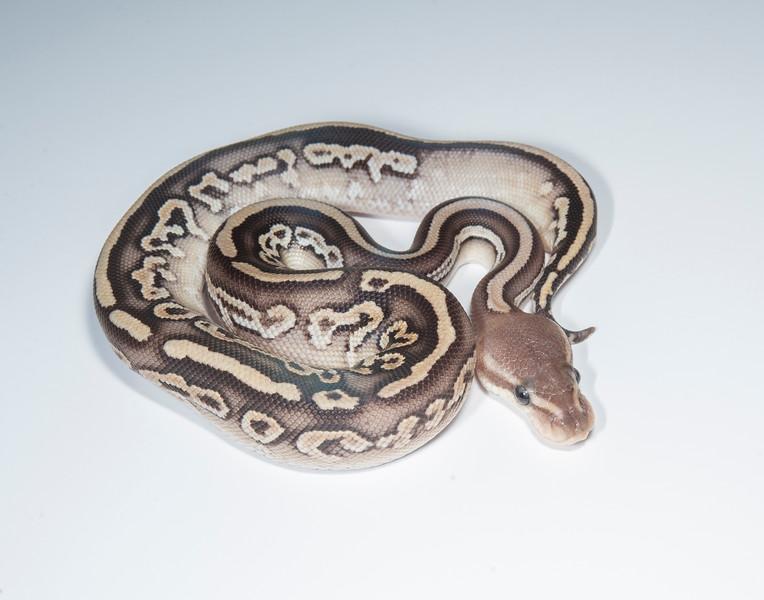 B2113, Male Cinnamon Pastel (Leopard?)