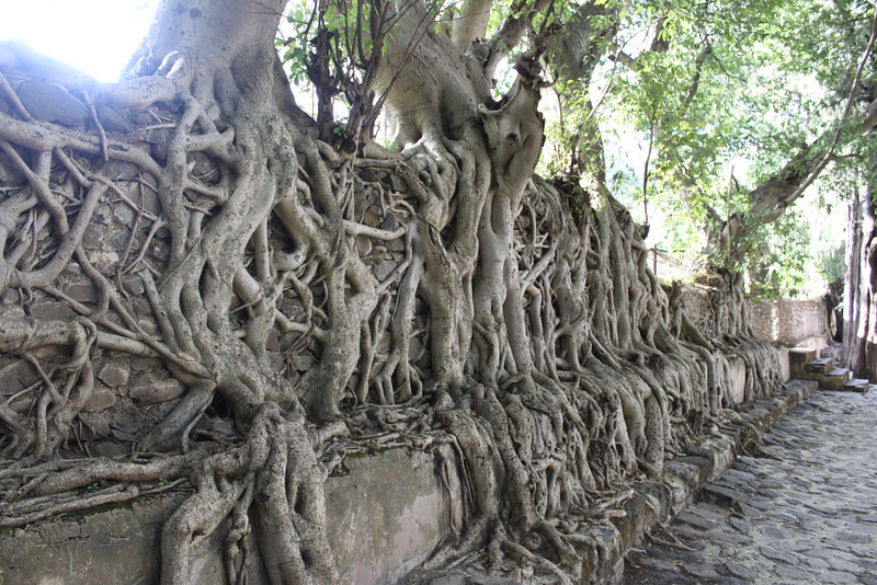 Banyan tree at Fasil's bathhouse