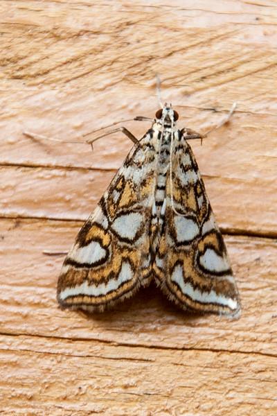 Nymphula Moth - (Elophila ekthlipsis) - Dunning Lake - Itasca County, MN