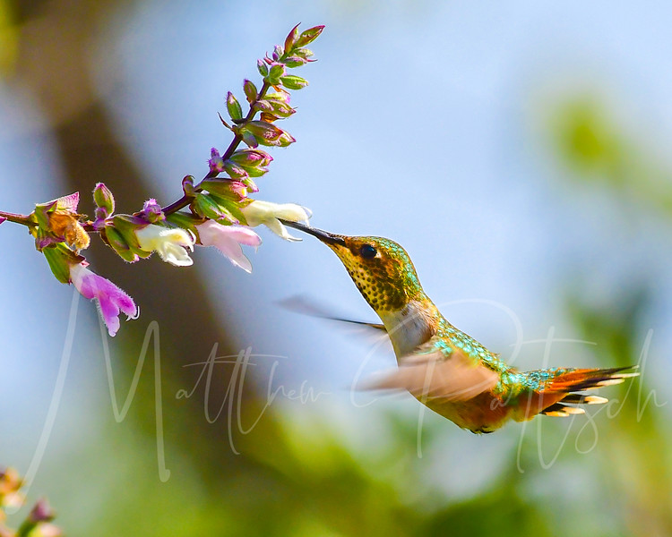A female Allen's Hummingbird getting some in flight meals.