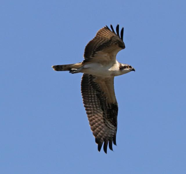 Osprey 05