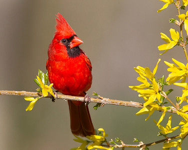 Cardinals, Grosbeaks, Buntings - All five species expected in Indiana have been photographed