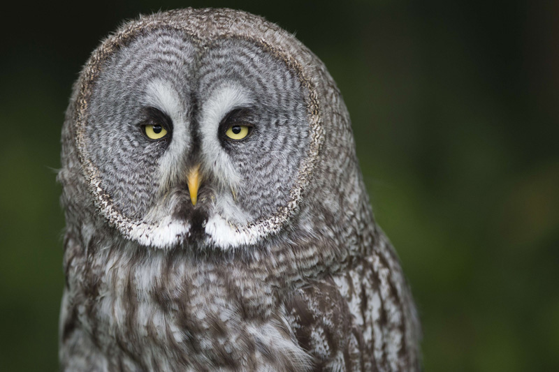 . A great gray owl in the Rambouillet forest near Paris, July 31, 2013. AFP PHOTO /  JOEL SAGET