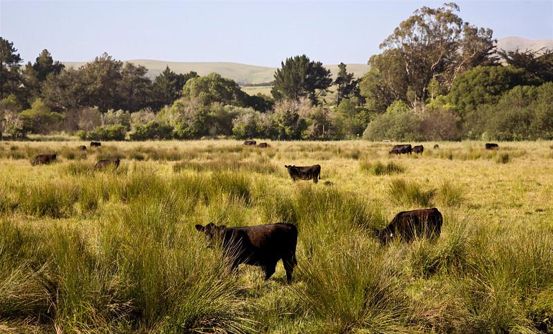 olema_cows.jpg