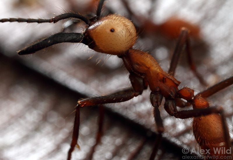 Eciton burchellii soldier. The bizarre globular eyes of army ants are a result of the ants' having re-evolved functional lenses from the vestiges of a blind ancestor.