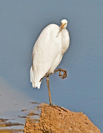 An Egret at Bennington Lake, 10-16-15