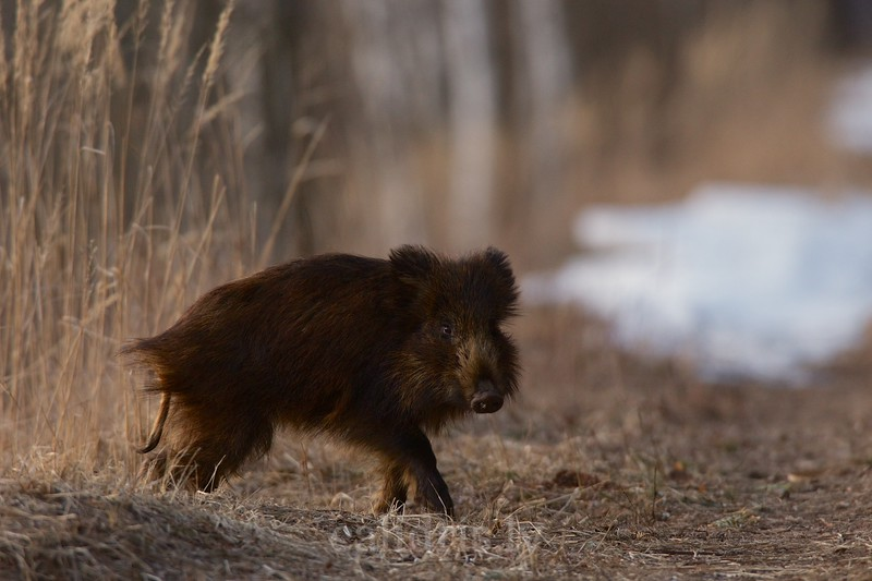 Young wild boar in early spring