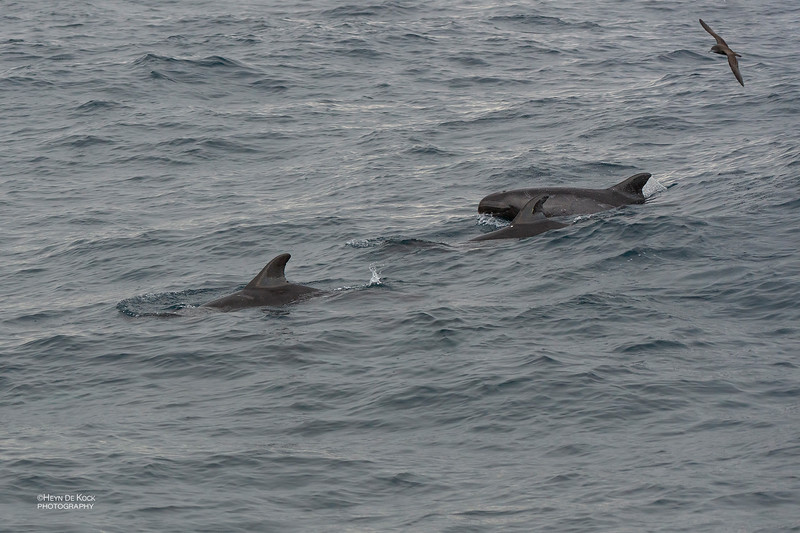 Pygmy Killer Whale, Wollongong Pelagic, Aug 2014-1.jpg