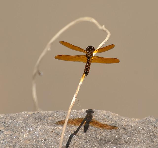 Dragon fly-3.jpg