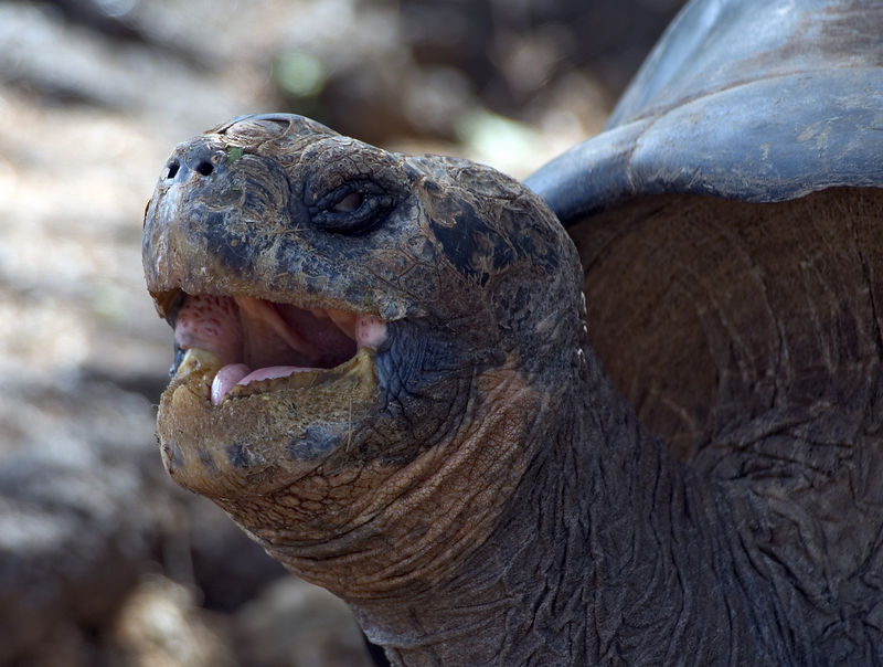 Close up of a tortoise yawning