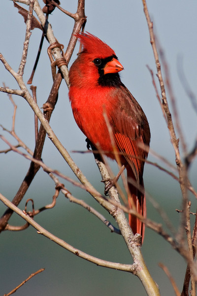 Cardinal - Northern - male - St. Marks NWR, FL