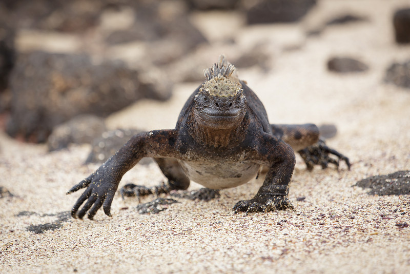 Here I come!  This is first of many many many Marine Iguanas we saw.  They made excellent photo subjects as they are so strange looking and they don't move very fast.