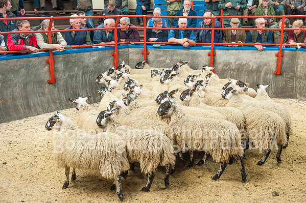 Longtown Mart Breeding Sheep Sale and Prize Mule Ewe Lamb Show and Sale - September 15th 2015