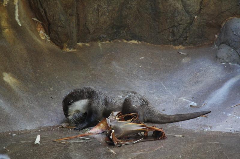 20170807-129 - San Diego Zoo - Otter.JPG