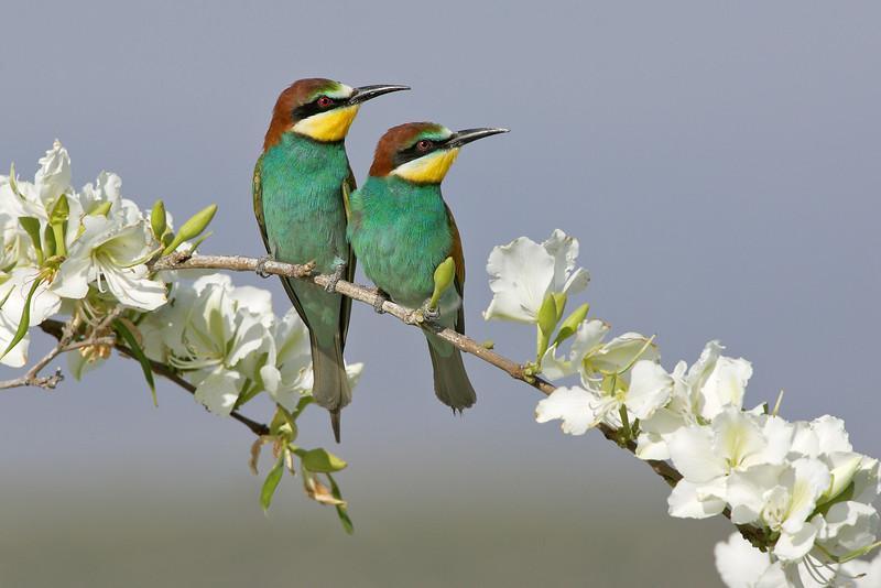 European Bee-eater 3.jpg