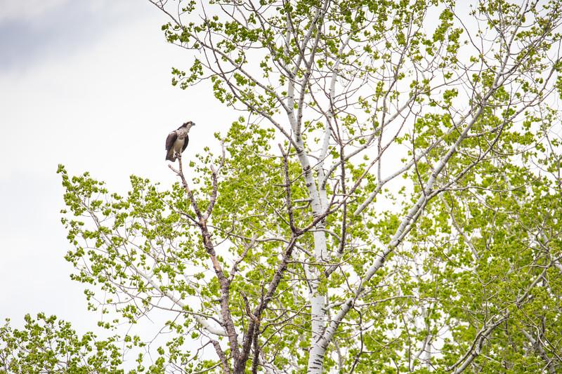 osprey-3233.jpg