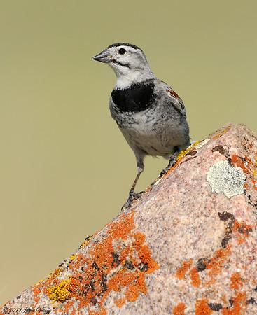 Sparrows &  Longspurs