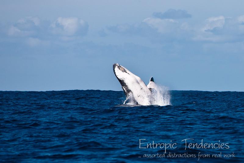 Humback whale breaching off Byron Bay