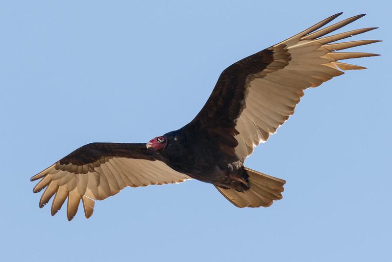 Vulture-4084.jpg