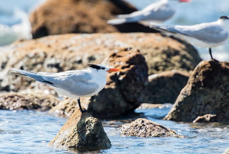 royal terns1.jpg