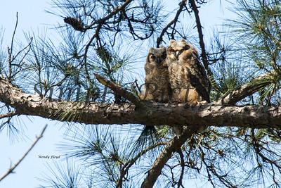 Owl  100