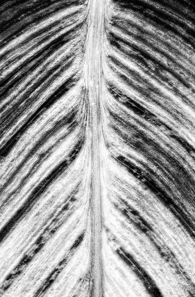 canna-leaf-3.jpg