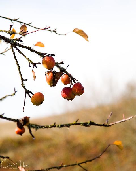 Fall Apples2.jpg