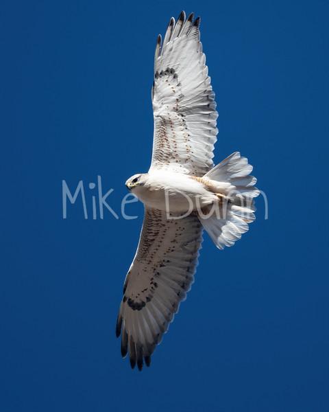 Ferruginous Hawk-195