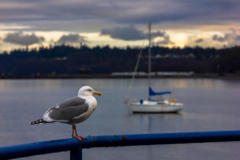 Sail Gull