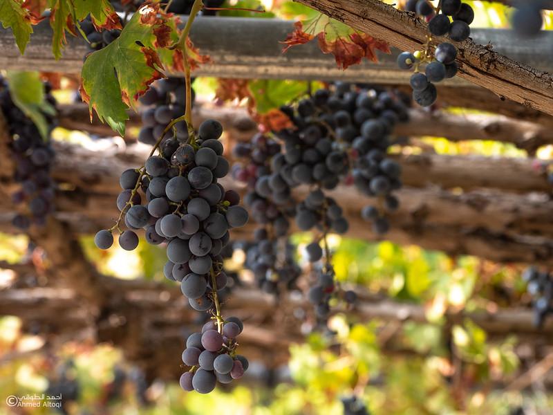 Grape - Wakan village - Nakhal228- Oman.jpg