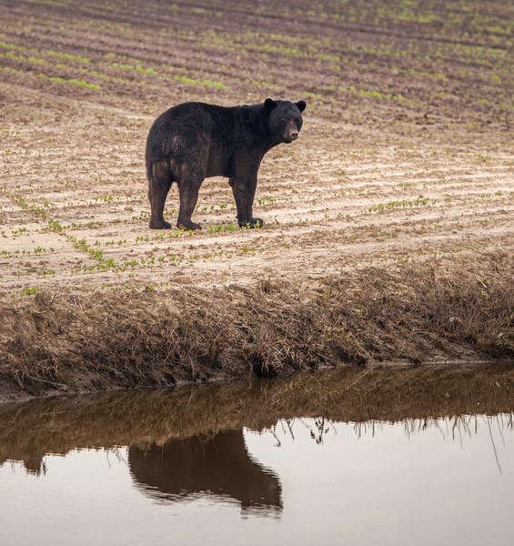 Black Bear Reflection