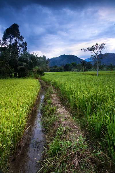 Rice paddies near Bukit Lawang