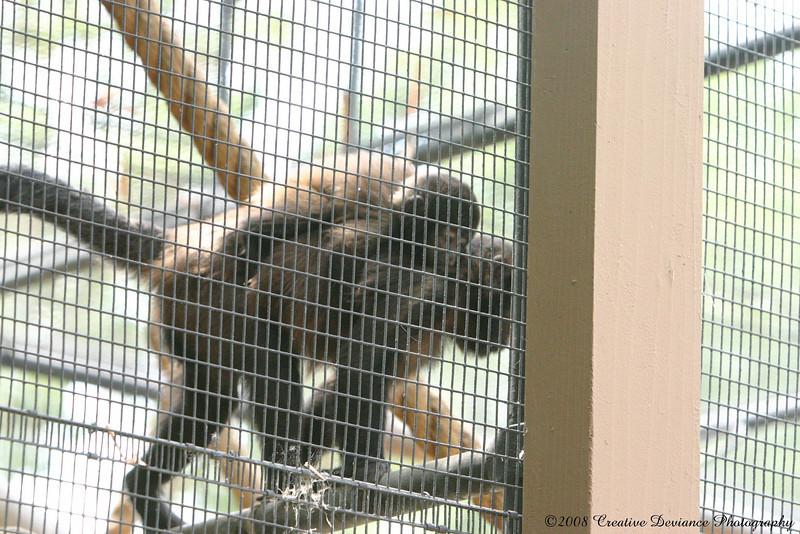 crested capuchin3.jpg