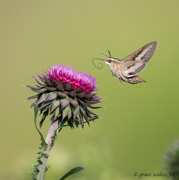 Hummingbird moth_S247626.jpg