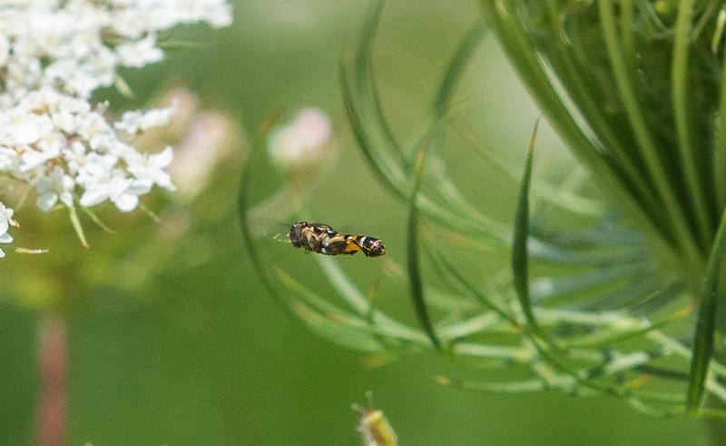 Daucus-carota-hoverfly2.jpg