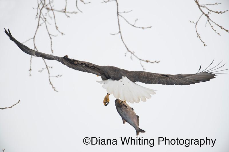 Bald Eagle 16.jpg