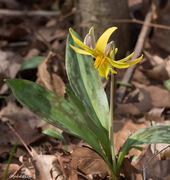 4/19/15.  Trout Lily,  Erythronium americanum.