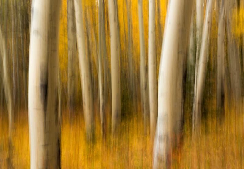Aspens in Autumn