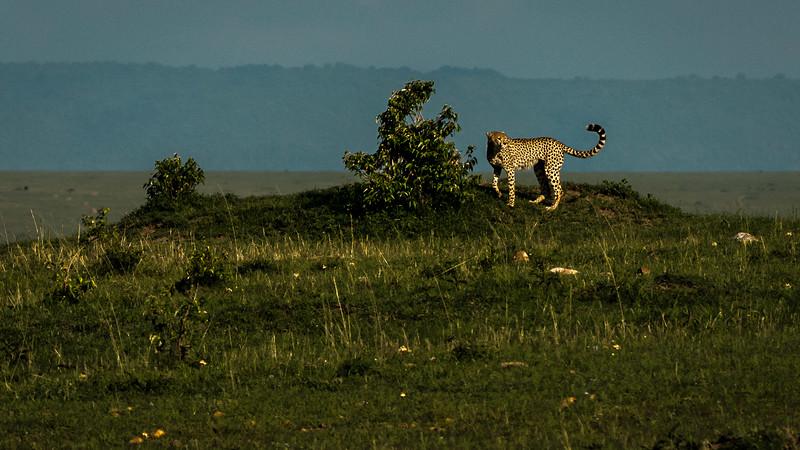 Cheetahs-0199.jpg