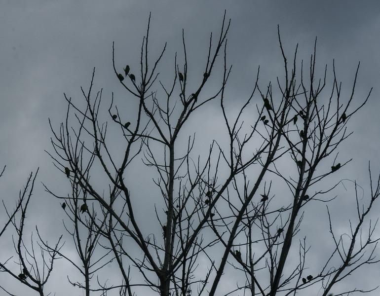 Chatter of Orange-chinned Parakeets (Brotogeris jugularis)