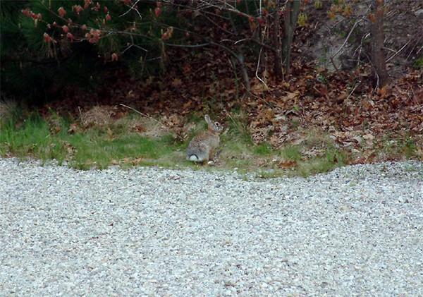 Briarwood - The elusive rabbit!!!.jpg