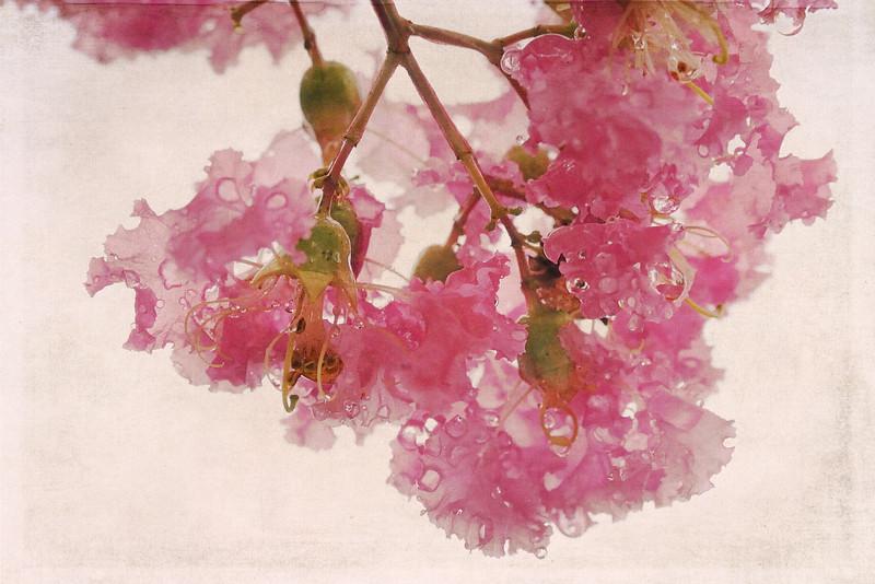 I love crepe myrtles when it rains.  Each frilly petal captures and holds the wet nourishment.<br /> <br /> Texture by Kim Klassen Cafe.