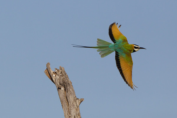 Bee Eaters and Misc African Birds