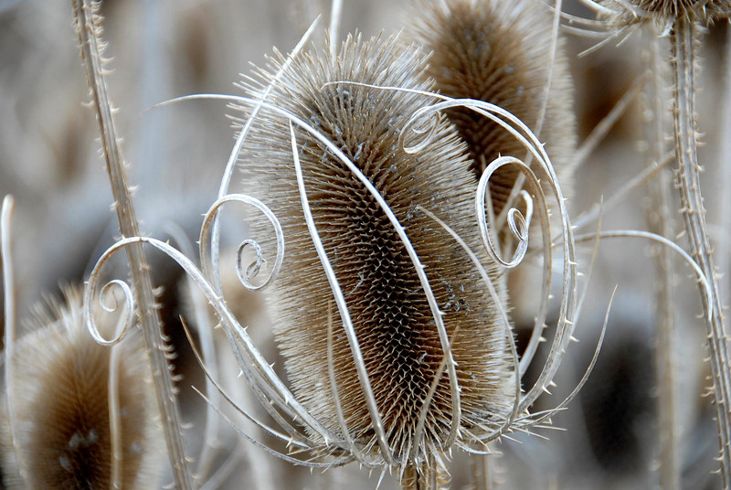 11/21/07 – These dry thistles caught my attention because of the graceful curls surrounding the thorny thistle. It was an interesting contrast of nature.