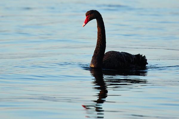 Waterfowl , Wetlands and Shorebirds
