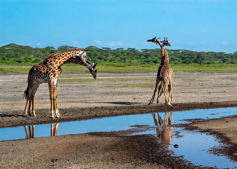 giraffes-112_0221_5655.jpg