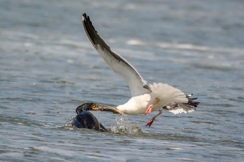 Double-crested Cormorant, Herring Gull